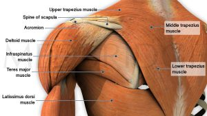 upper trap-trapezius-muscles